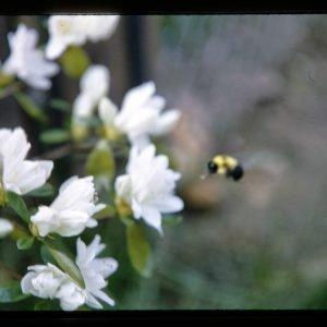 bee and azalea