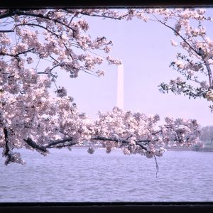 cherry blossoms and monument