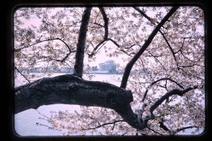cherry blossoms and memorial