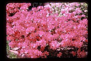 red pink azalea
