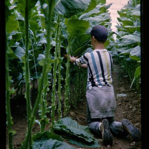 boy picking tobacco