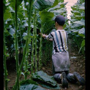 boy picking tobacco