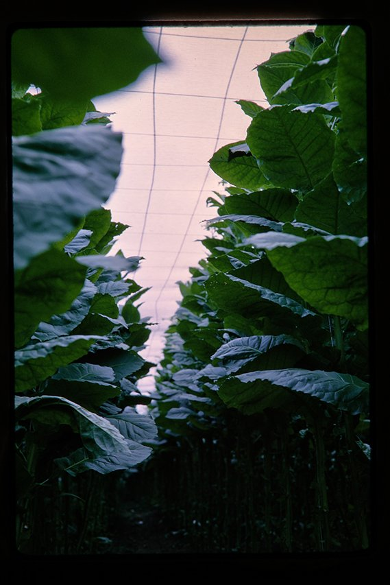 shade grown tobacco