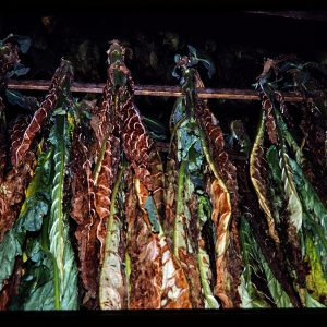 tobacco curing