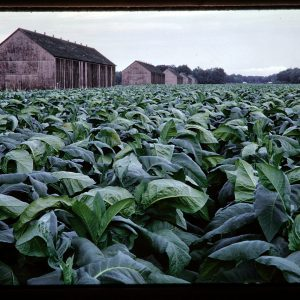 tobacco and barns