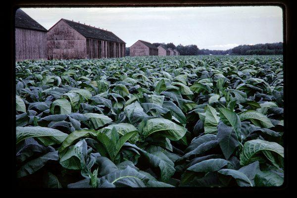 tobacco and barns