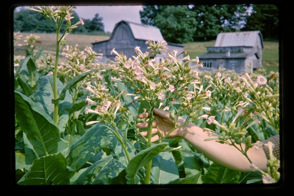 flowering tobacco plants