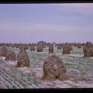 cotton stalks in piles