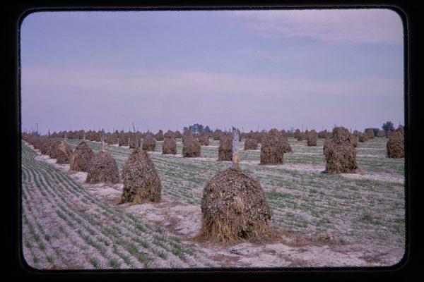 cotton stalks in piles
