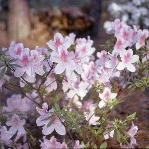 5-73 George Taber azaleas