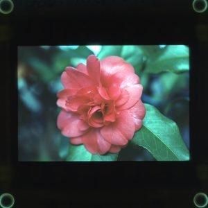1-26-75 Gov. Mouton Camellia