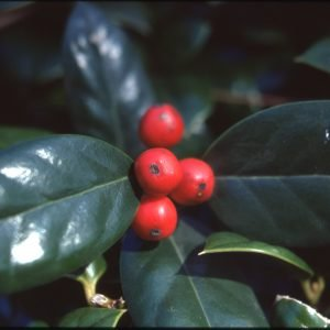 1-26-75 close up of Holly Berries