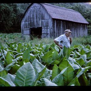 tobacco farmer in his field with barn