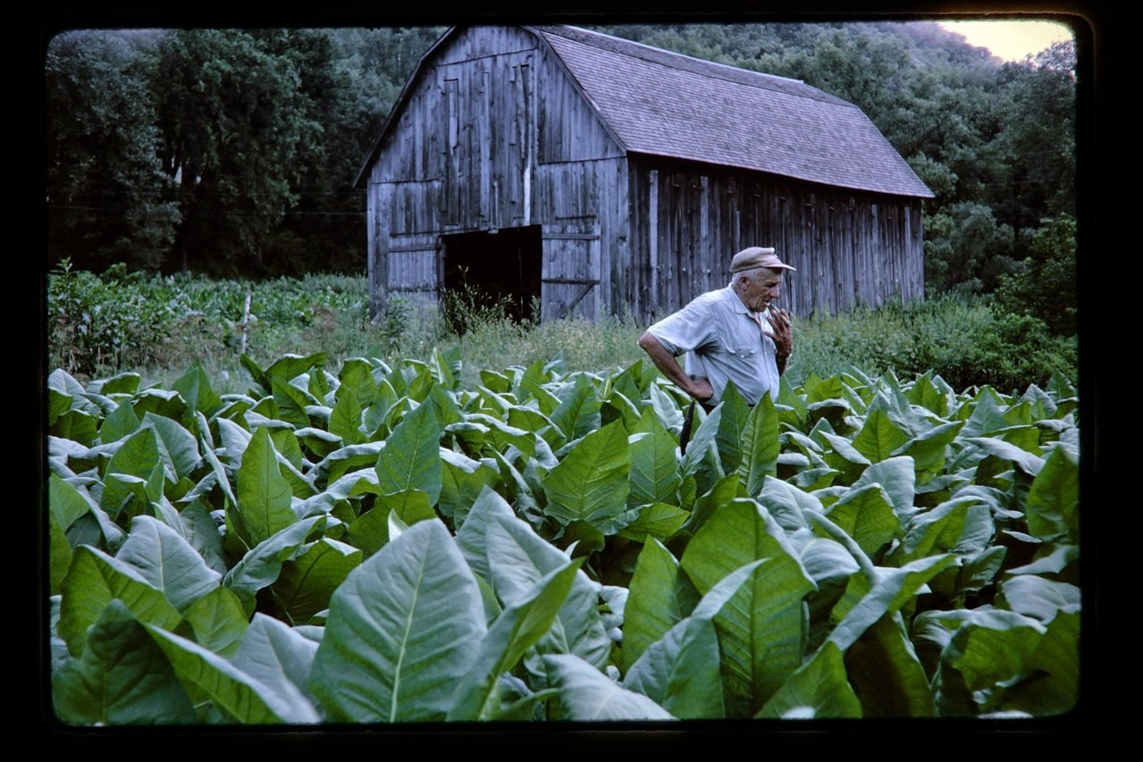 tobacco farmer in his field with barn