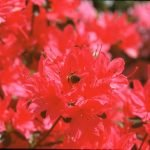 red azalea with bumblebee