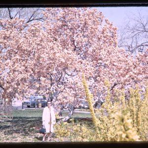 visiting cherry blossom trees